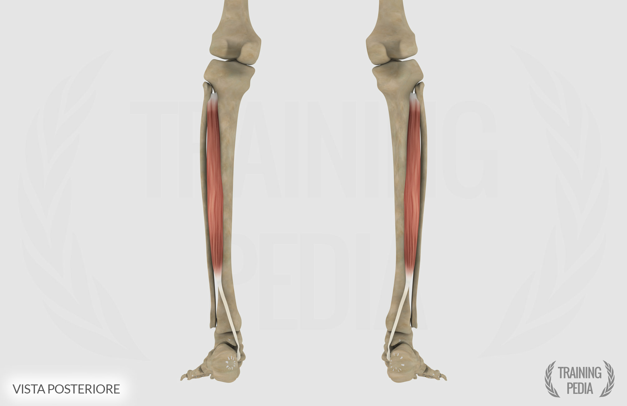 Tibiale posteriore